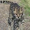 Ocelot prowling