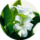 Two white flowers around greenery