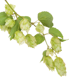 Photo of hops on a branch